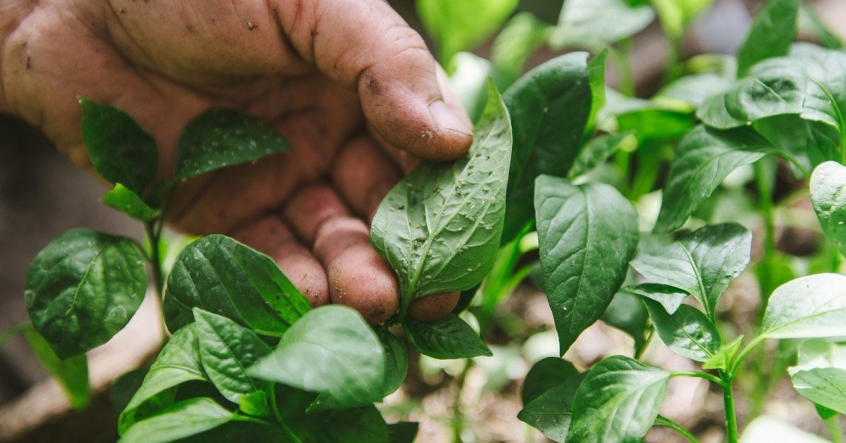Методы борьбы с болезнями перцев в рассаде, что делать, если скручиваются листья и пупырышки