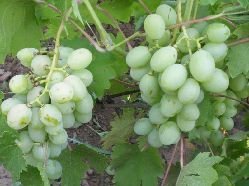 Сладкий и ароматный сорт винограда «спонсор»