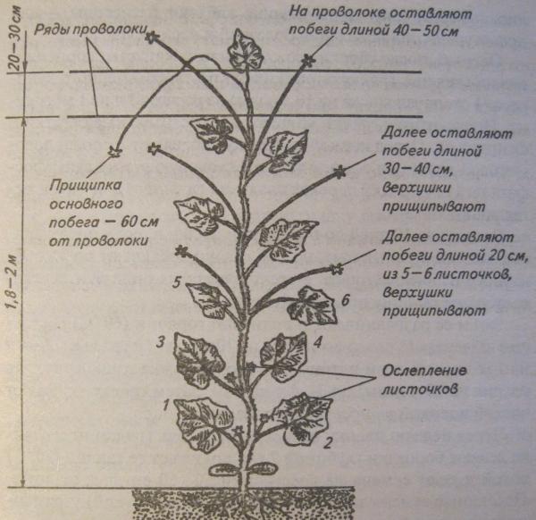 Формирование дыни в теплице: схема и инструкция