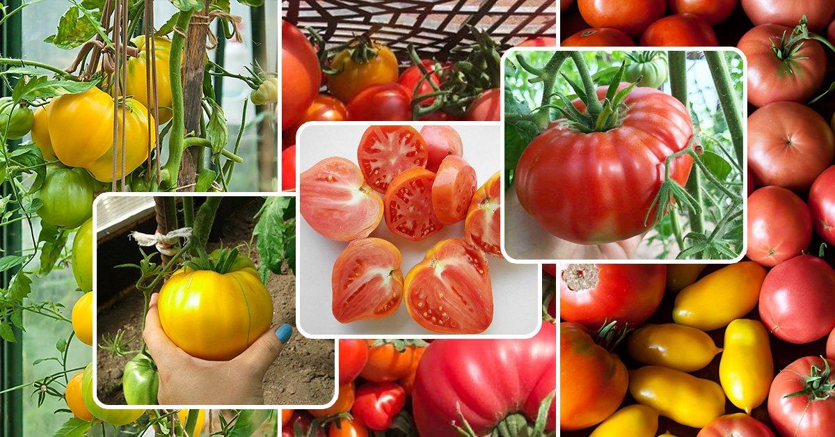 Лучшие сорта розовых томатов для теплицы и открытого грунта - самые урожайные и вкусные