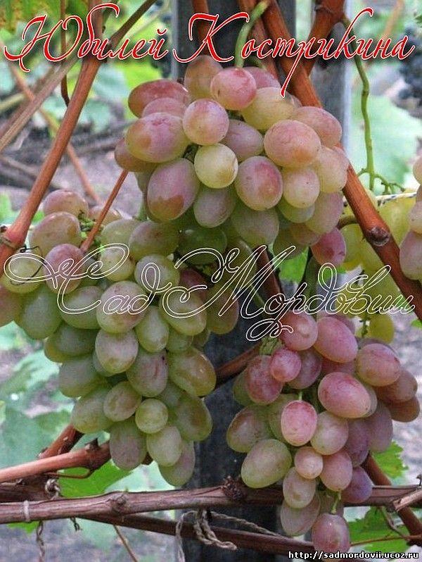 Юбилей новочеркасска – самый вкусный сорт винограда