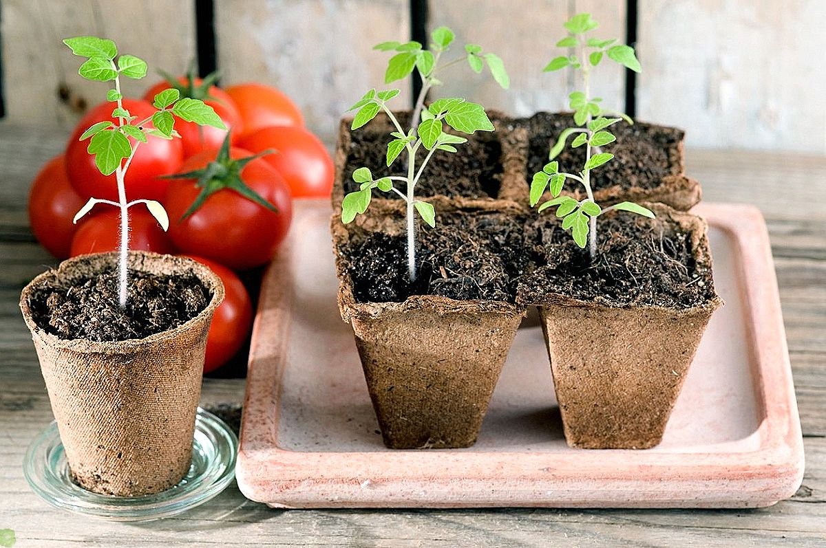 Выращивание томатов черри в теплице - это просто
