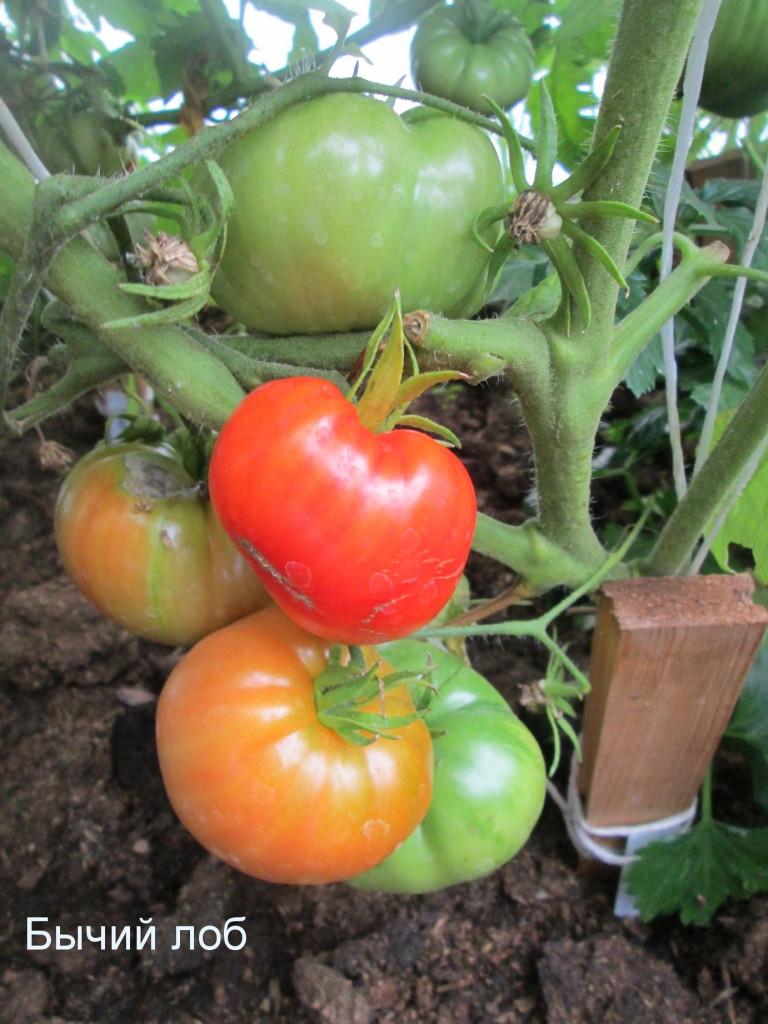Томат бычий лоб: описание и характеристика сорта, урожайность