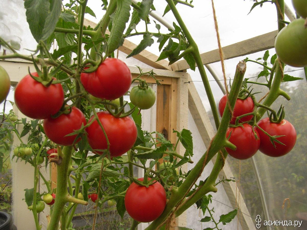 Новые сорта томатов на 2021 год — выбираем лучшее!
