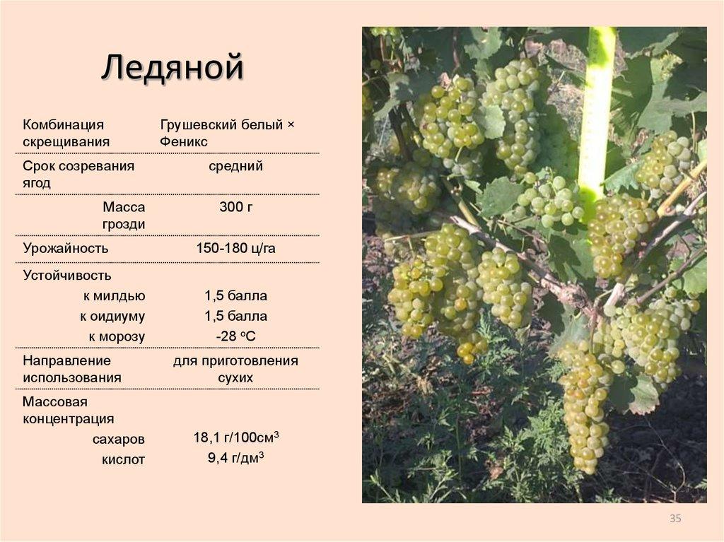 Сорт винограда «ливия», описание с фото и видео