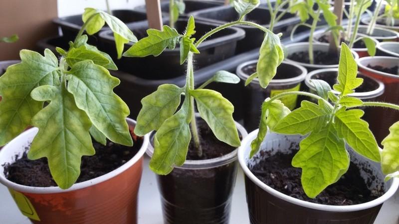 Скручиваются и вянут листья у помидоров - ищем и устраняем причину