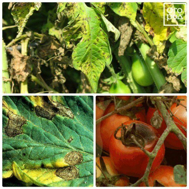 Болезни листьев у помидоров: описания с фото и способы лечения