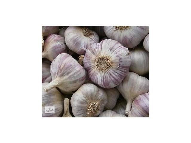 Чеснок богатырь: описание и характеристика сорта, урожайность с фото