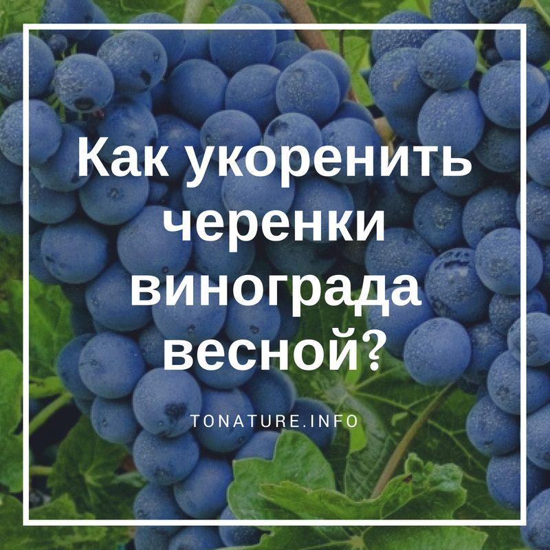 Секреты успешного выращивания сверхраннего винограда сорта юлиан