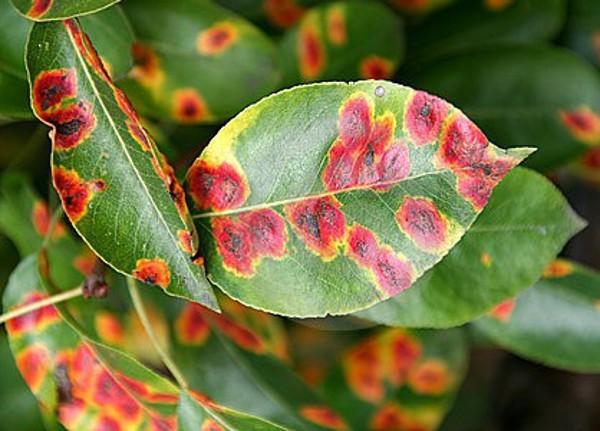 Груша: все болезни листьев и способы их лечения. чем обрабатывать грушу от болезней: химией или натуральными средствами - секреты садоводов