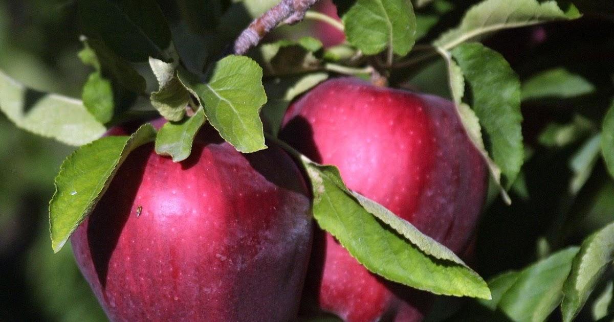 Яблоня ред чиф — описание сорта