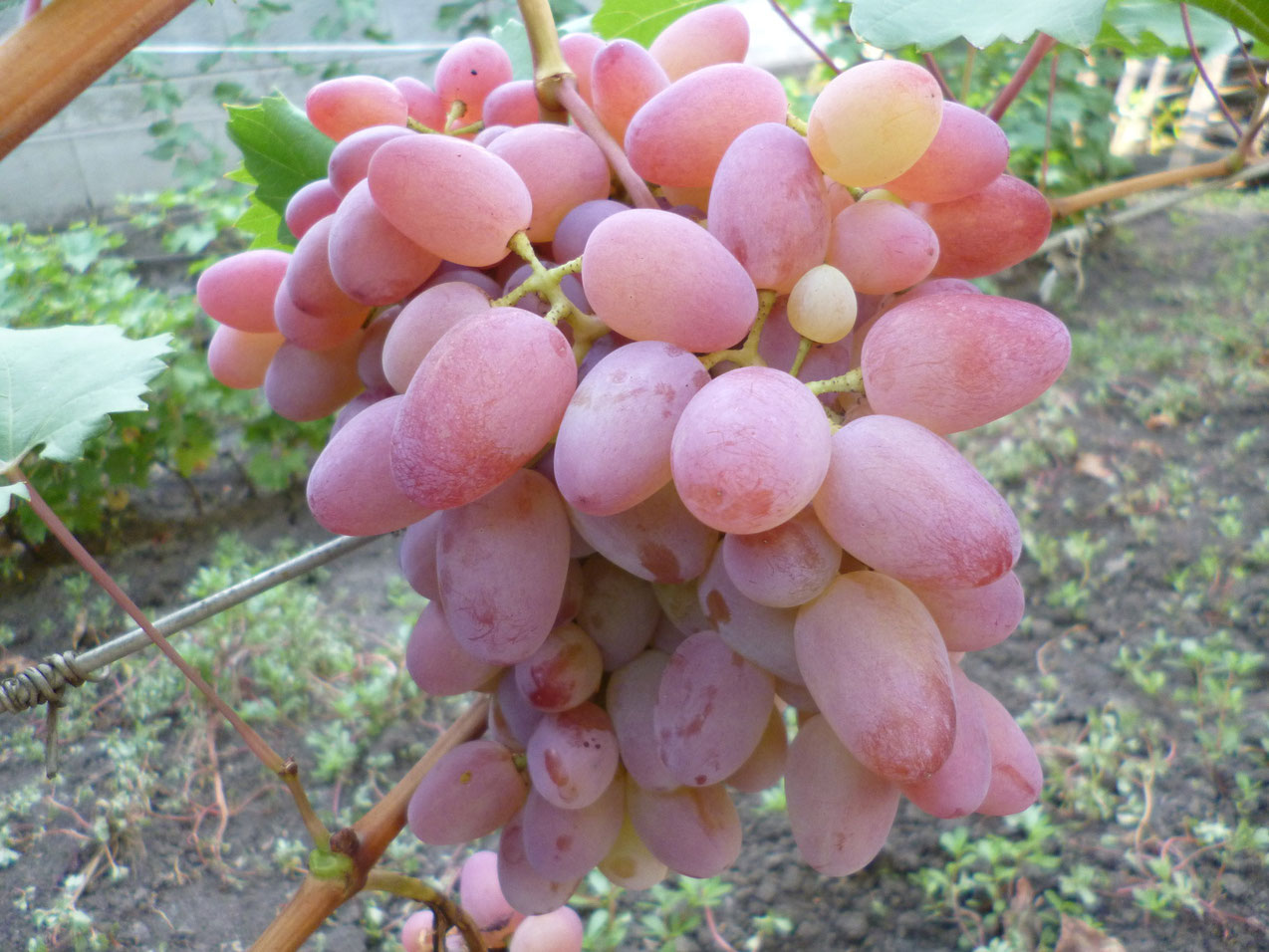 Лучшие сорта винограда для подмосковья - 20 самых вкусных, морозостойких