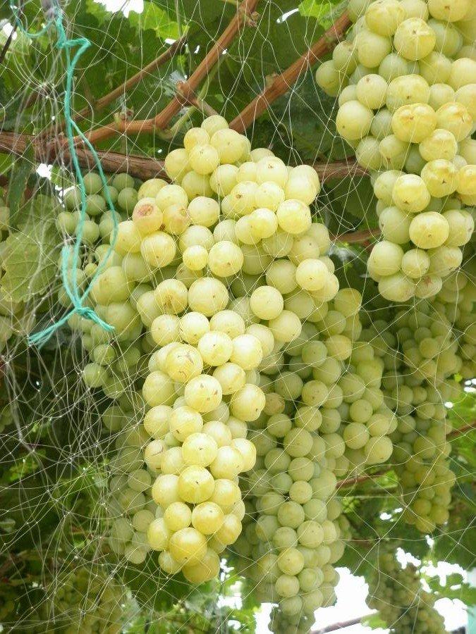 19 популярных сортов винограда для вина в россии