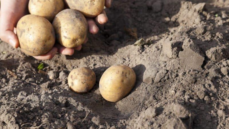 Описание сорта картофеля Соркодневка, посадка и ухода, когда копать
