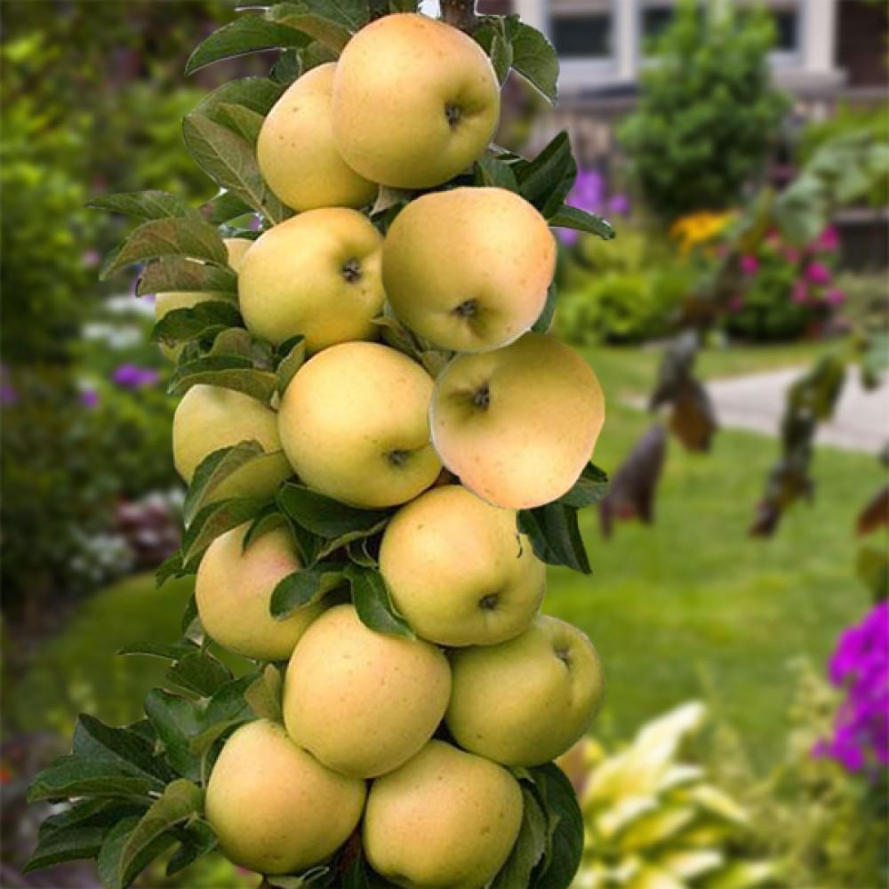 Колоновидная яблоня малюха: посадка и уход