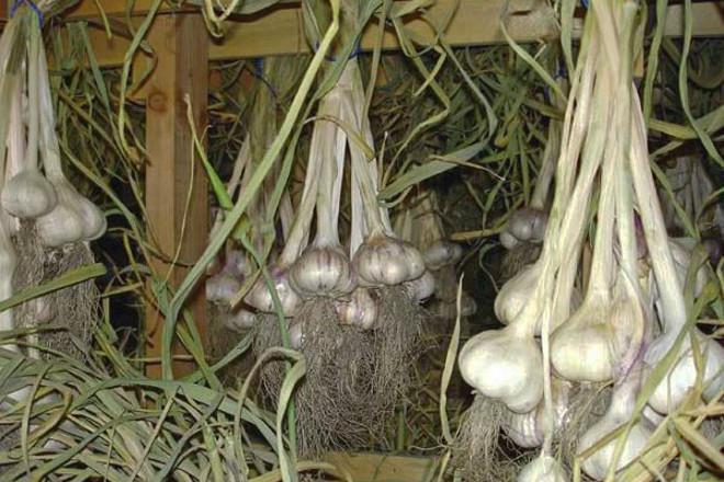 Когда нужно убирать лук с грядки и как его правильно хранить зимой