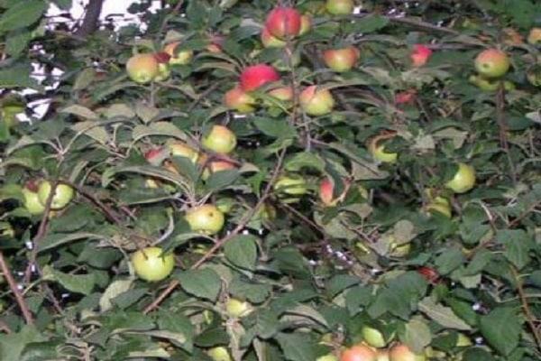 Описание сорта яблони женева: фото яблок, важные характеристики, урожайность с дерева