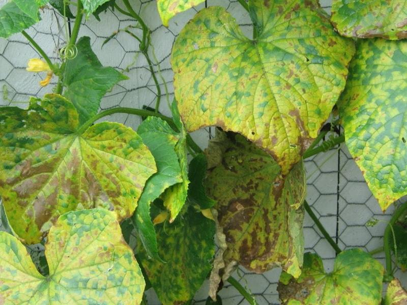 Болезни листьев у баклажанов: описания с фото, лечение