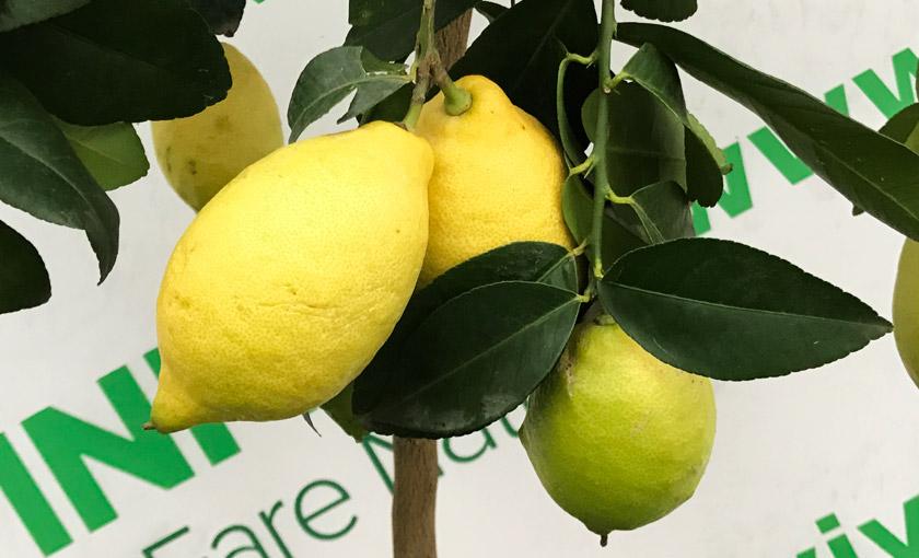 Лимонное дерево — как растет и цветет лимон - pocvetam.ru