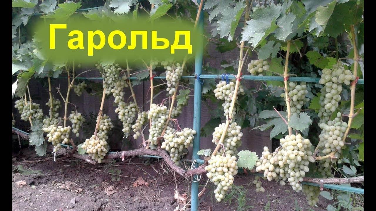 Плодовый сорт винограда гарольд: описание, особенности и преимущества
