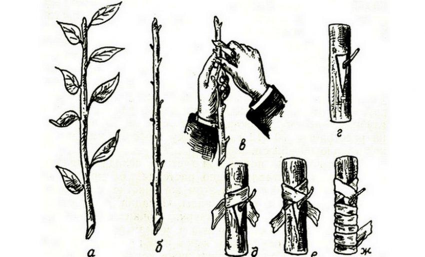 Как взять саженец от сливы. что нужно знать. особенности размножения сливы корневой порослью