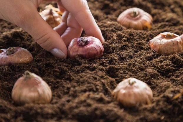Выращивание гладиолусов из луковиц: когда сажать, обработка луковиц перед посадкой