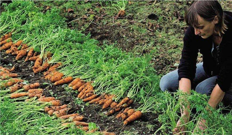 Какие принципы ухода за морковью после посадки следует соблюдать и как избежать ошибок?