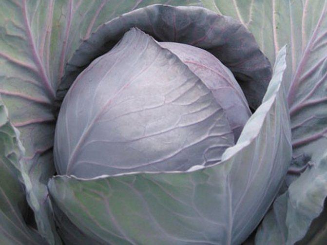 Лучшие сорта капусты с фото и описанием