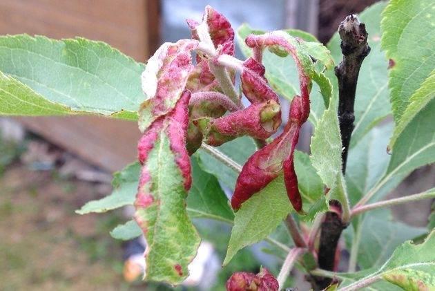 Отчего скручиваются листья яблони и груши? что делать в той ситуации?