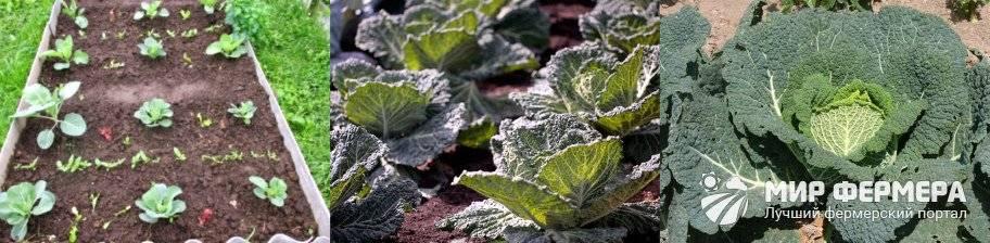 Выращивание капусты в открытом грунте: посадка и уход за овощем