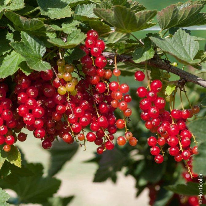 Красная смородина: посадка и уход, обрезка, размножение, описание сортов, фото