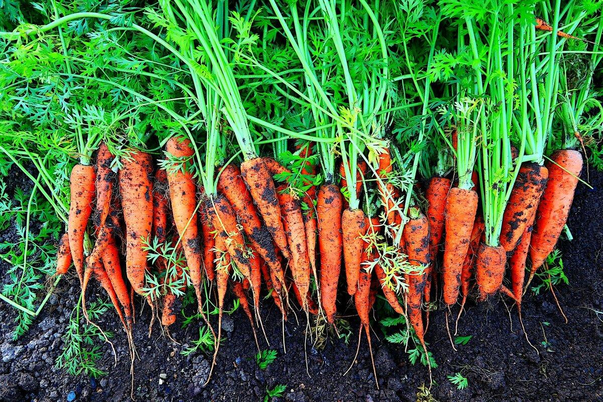Особенности ухода за морковью. что делать, чтобы был хороший урожай?