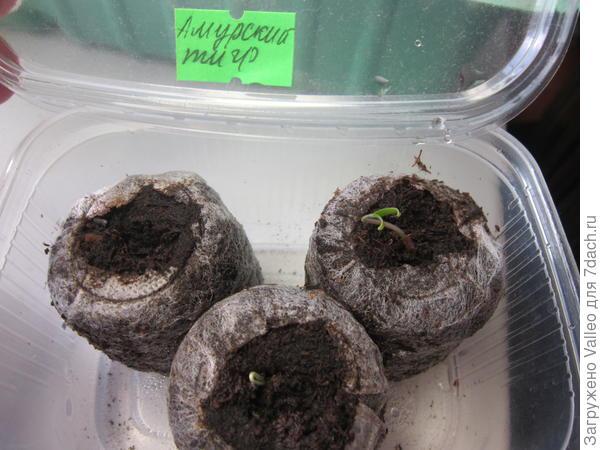 Выращивание рассады томатов в домашних условиях – правильно, пошаговая инструкция с фото, видео