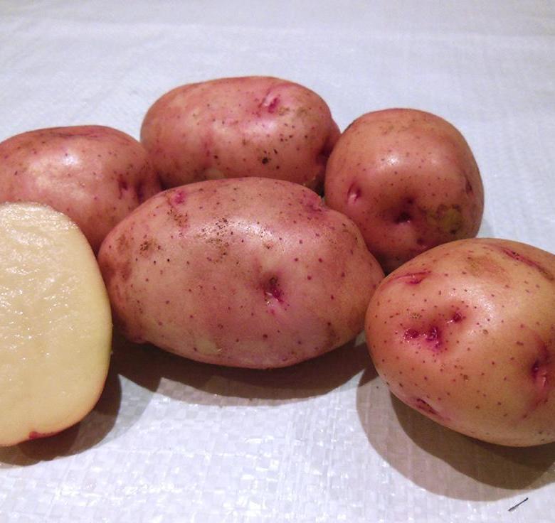 Проверенный временем старейший сорт картофеля «лорх»