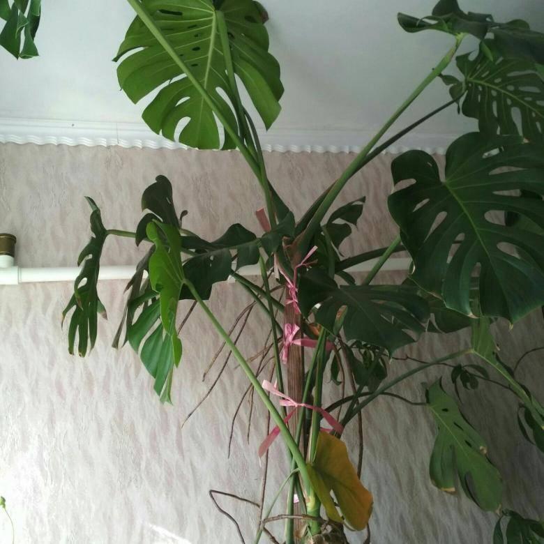 Уход в домашних условиях за комнатным растением монстера