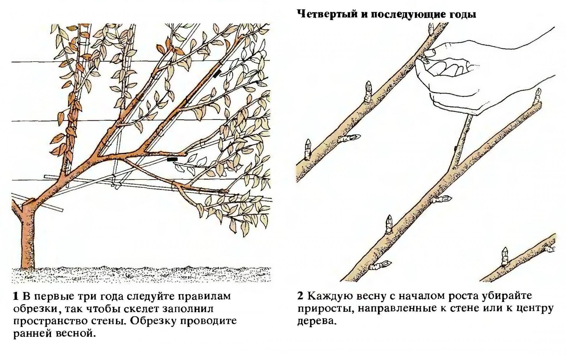 Посадка и уход за сливой в Ленинградской области, лучшие сорта и правила выращивания