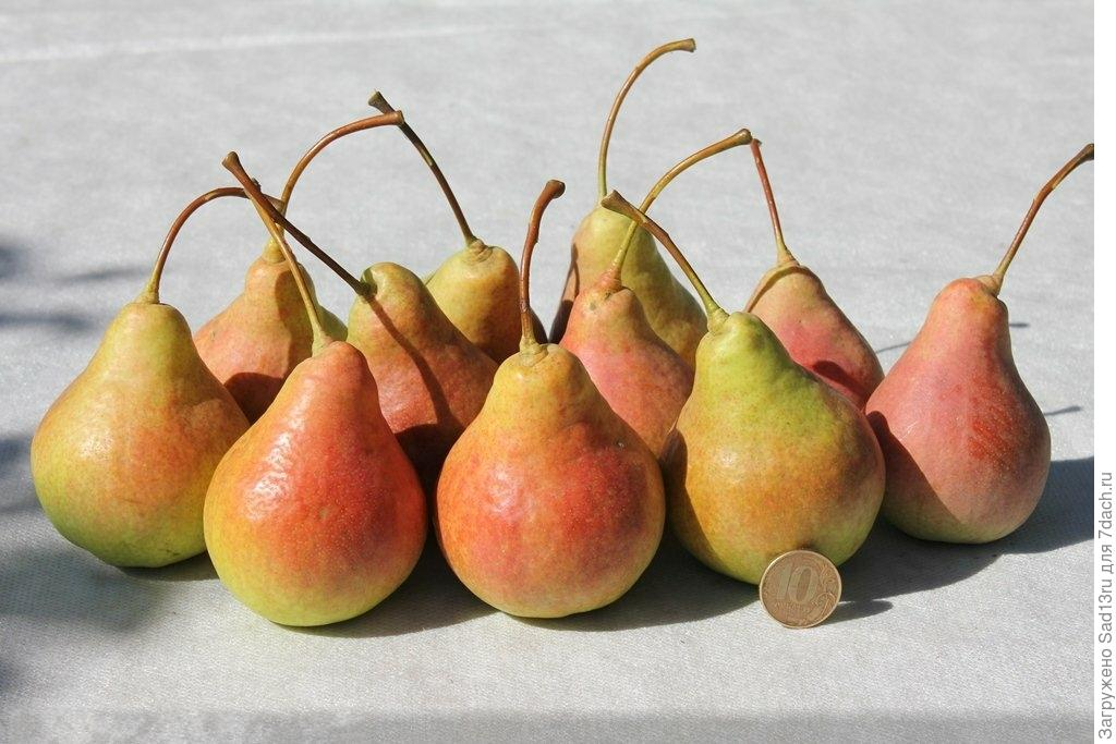 Особенности сорта груши любимица яковлева
