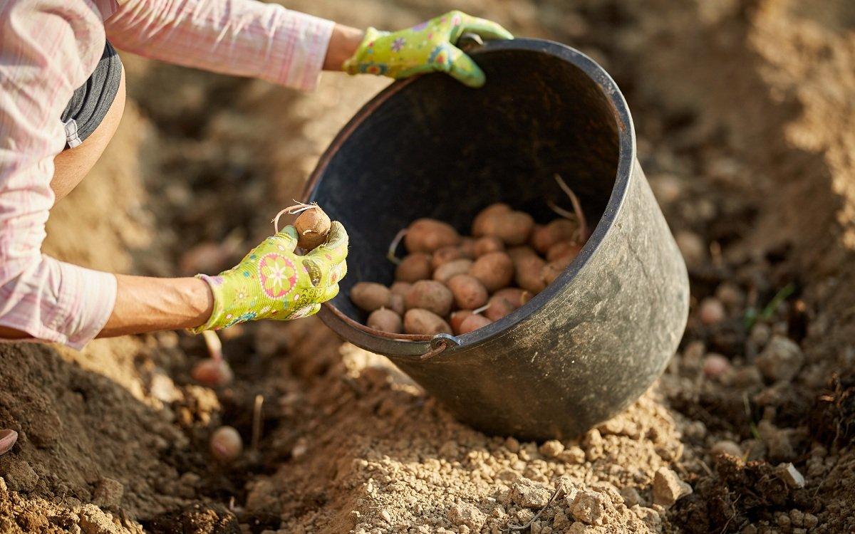 Как спасти картофель в дождливое лето: особенности выращивания, сбор урожая в непогоду