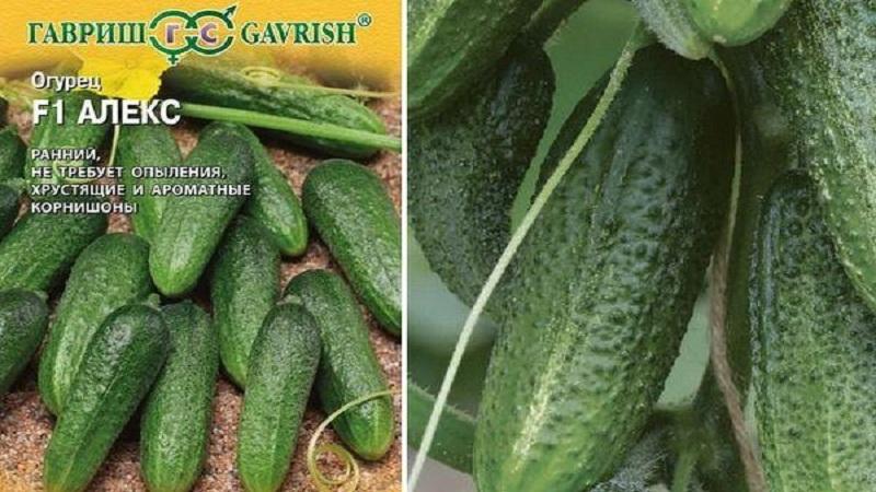 Огурцы феникс плюс: отзывы, сколько дают урожая, характеристика и описание сорта, фото