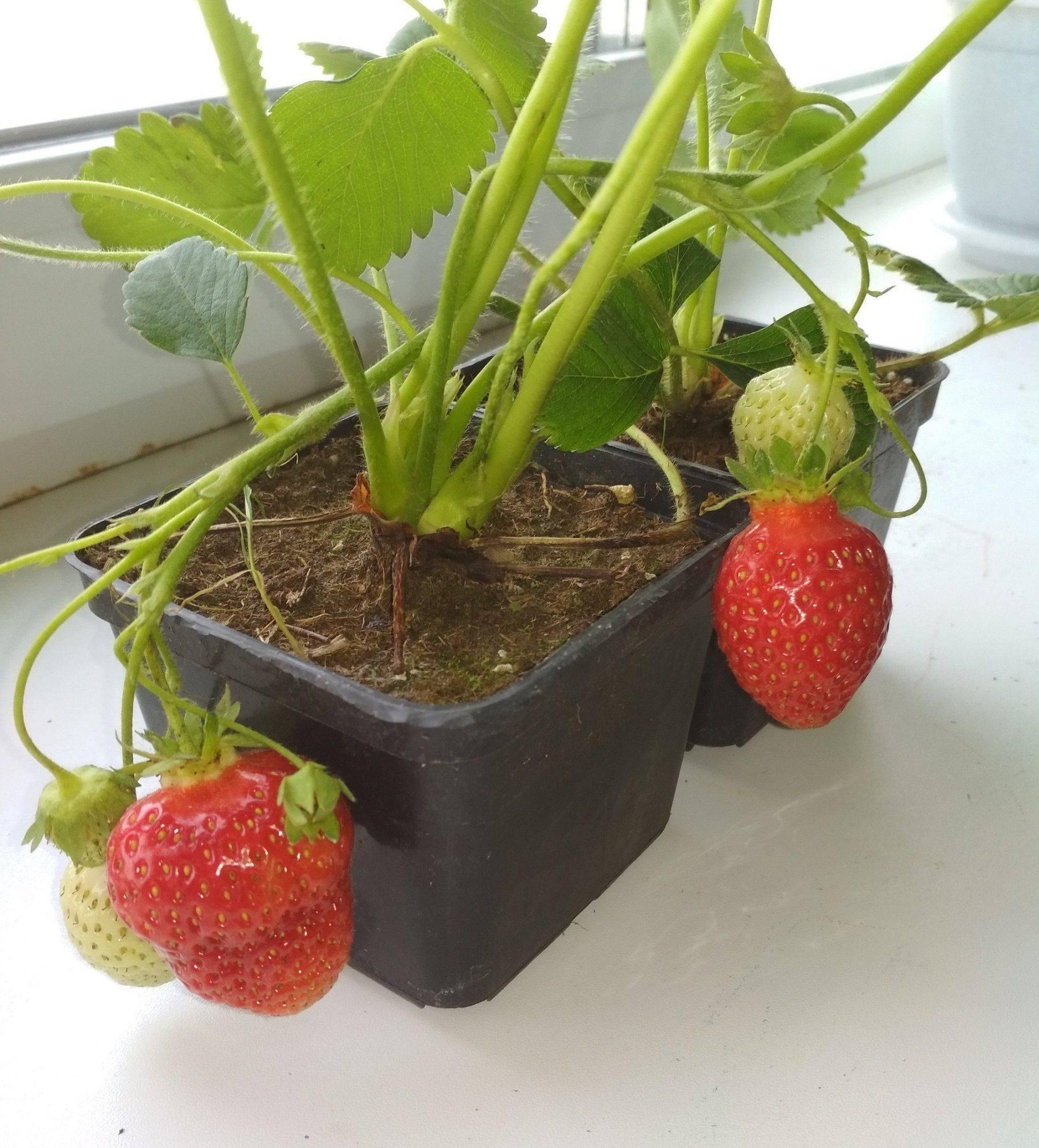 Клубника на подоконнике: выращивание круглый год, особенности посадки и ухода за клубникой в домашних условиях