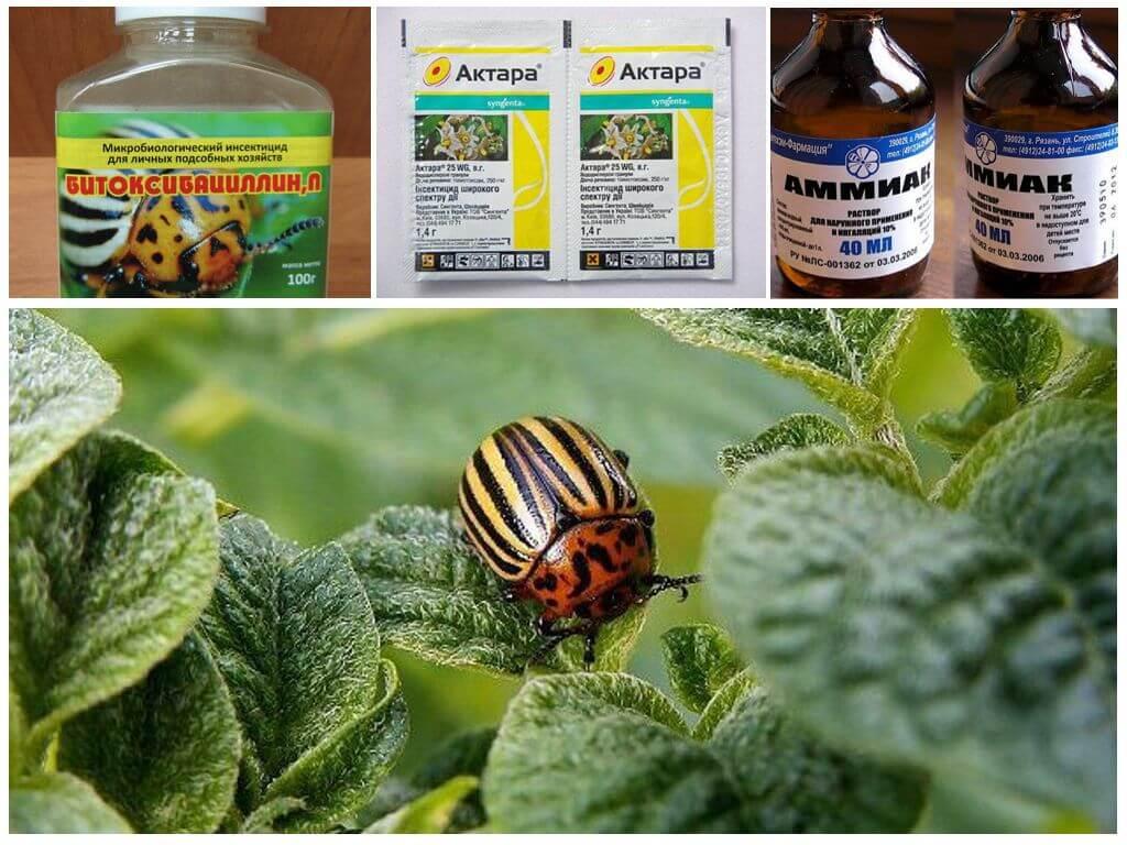 Колорадский жук - борьба с ним, средство и препараты