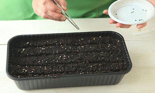Лук-порей: выращивание рассады из семян, посадка в открытом грунте и домашних условиях