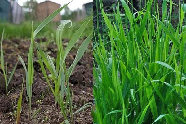 Какую пользу и вред приносят сорняки + методы борьбы с ними