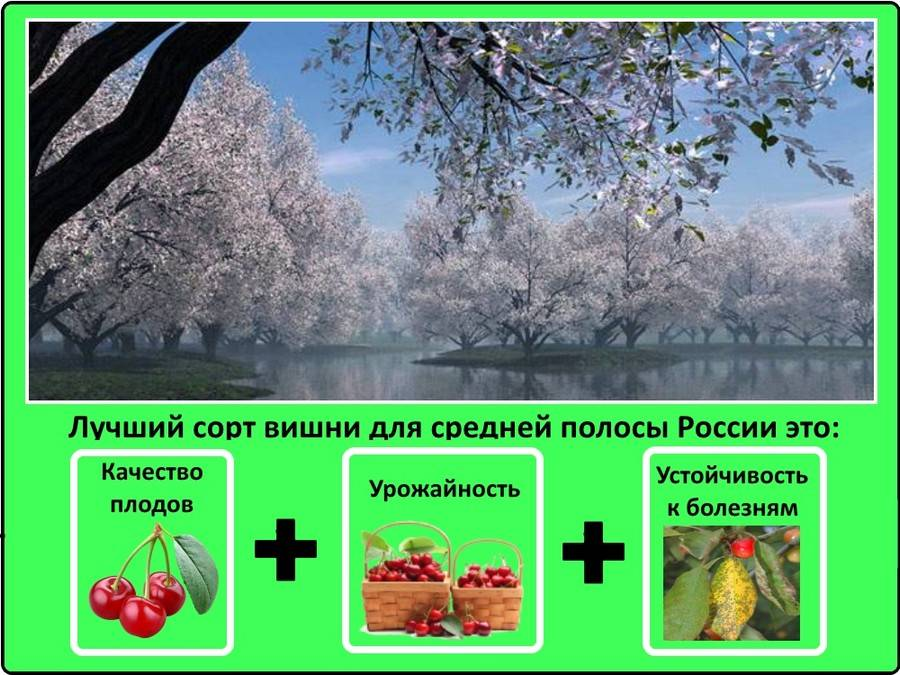 Кустовая вишня сорта, их фото и характеристика. посадка, уход, обрезка