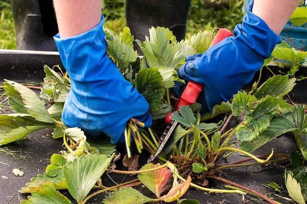 Обрезка клубники после сбора урожая: как и когда обрезать листья и усы   мир садоводства