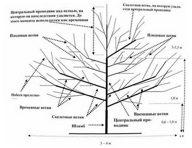 Обрезка и формирование деревьев семечковых и косточковых пород. всё об обрезке и прививке деревьев и кустарников
