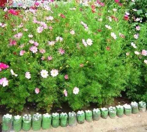 Космея в открытом грунте: секреты ухода за растением