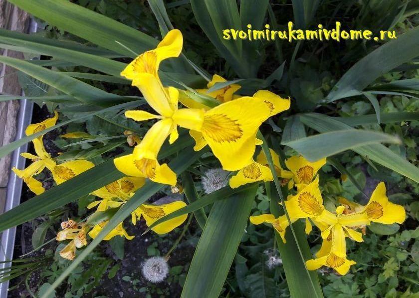 Ирис болотный: описание, особенности выращивания в открытом грунте