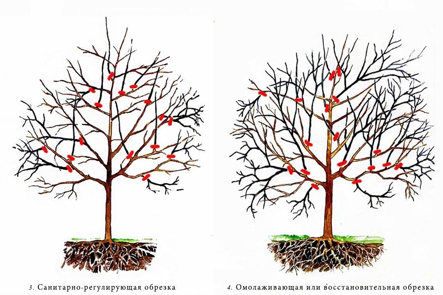 Что обязательно нужно делать с вишневыми деревьями весной