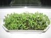 Как вырастить рукколу из семян на подоконнике